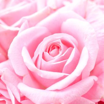 美容にいい!?秘められたバラの魅力とは