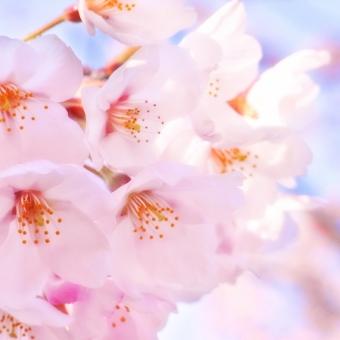 桜を見上げて思うこと・・・やっぱり花より団子!