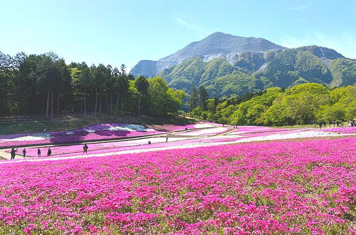 秩父の山とピンクの芝桜のコントラストが鮮やか