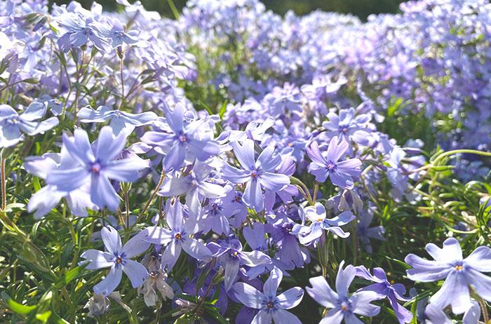 園内にはピンク、白、ブルーなど10種類の芝生